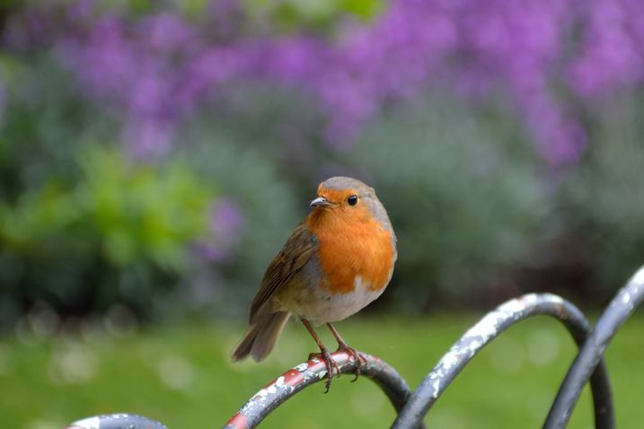 Robin sitting on a fence
